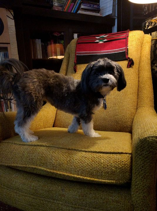 Veronica Roth's five-year-old Havanese, Avi
