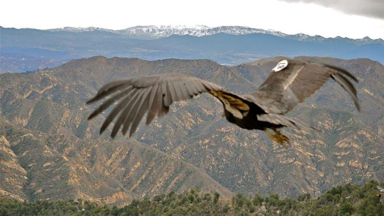 California Condor Recovery Program Spreads Its Wings
