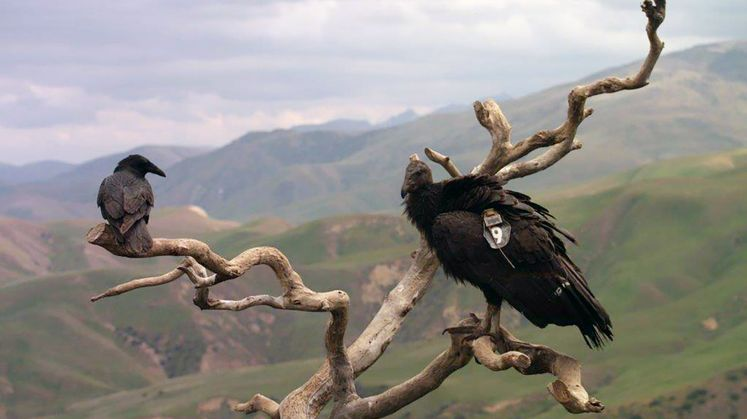 Condor Recovery Program