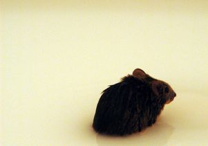A mouse loses his way in an experiment to test its ability to pay attention to visual and spatial clues.