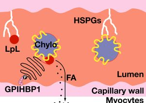 Cartoon illustrates the role of GPIHBP1 in the utilization of circulating triglycerides by tissues.