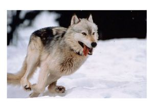 Wolves of Alaska Became Extinct 12,000 Years Ago, Scientists Report
