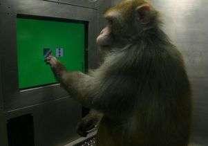 A rhesus monkey chooses between images on a touch-screen computer monitor.  In a new study, monkeys were asked to select five photographs in a particular order.
