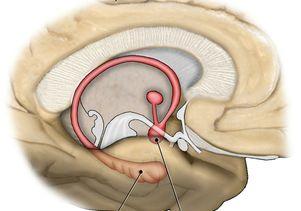 Brain memory areas