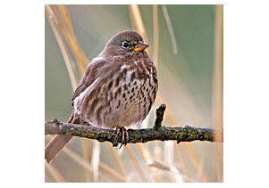 Songbirds and avian flu