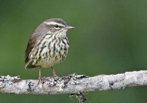 Sonbirds and avian flu