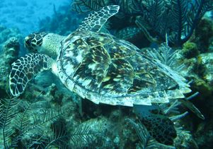 Hawksbill sea turtle in the Caribbean