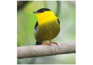 A male golden-collared manakin