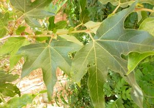 Platanus racemosa has a large leaf