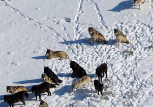 Wolf pack in Yellowstone National Park