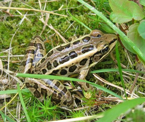 Pickerel frog. Photo by Jeremy Feinberg.