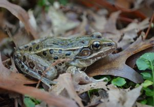 The newly discovered frog species. Photo by Brian Curry.