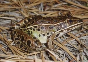 Southern leopard frog. Photo by Chris Camacho.