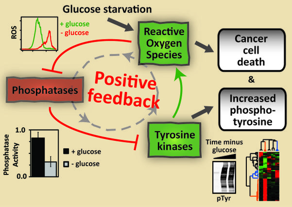 Glucose deprivation activates feedback loop that kills