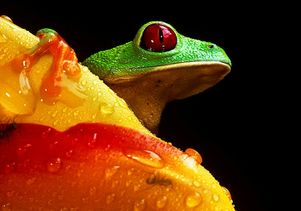 Red-eyed tree frog by Christian Ziegler