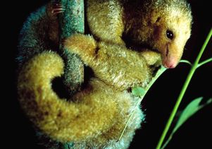 Silky anteater by Christian Ziegler