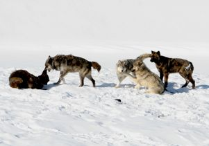 Wolves from Yellowstone