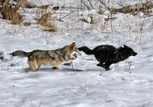Littermates play chase