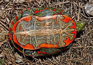 Underside of the western painted turtle