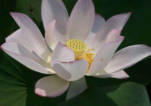 Scientists sequence genome of 'sacred lotus' with aging secrets