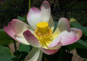 Nelumbo nucifera from China, more commonly known as the 'sacred lotus'