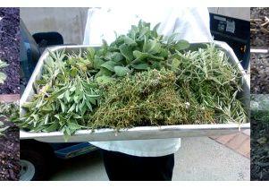 herb-harvest-615