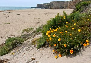 350-beach-poppies-NPS