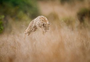 leaping-bobcat -by-Barry-Rowan