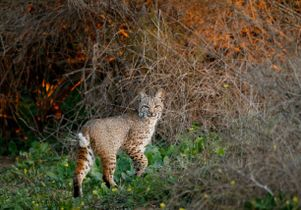 1-bobcat -by-Barry-Rowan