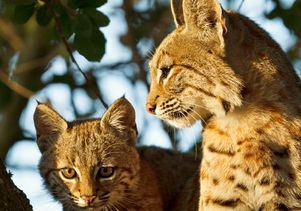 2-bobcats -by-Barry-Rowan