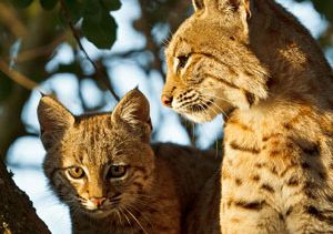 bobcats-by-Barry-Rowan