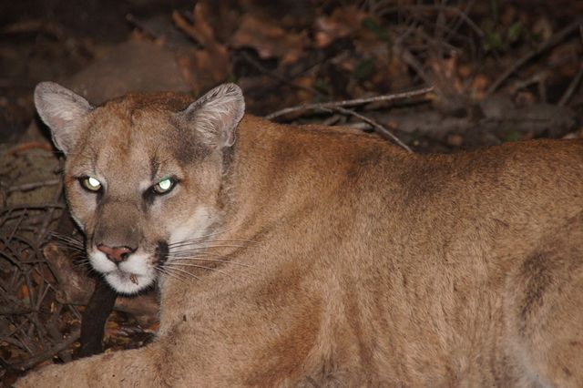 P22 Griffith Park mountain lion
