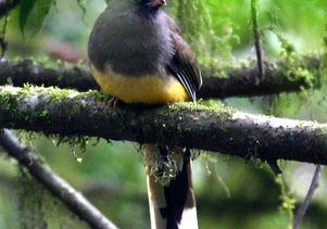 Frank Chen.2005 Ward s trogon Bhutan