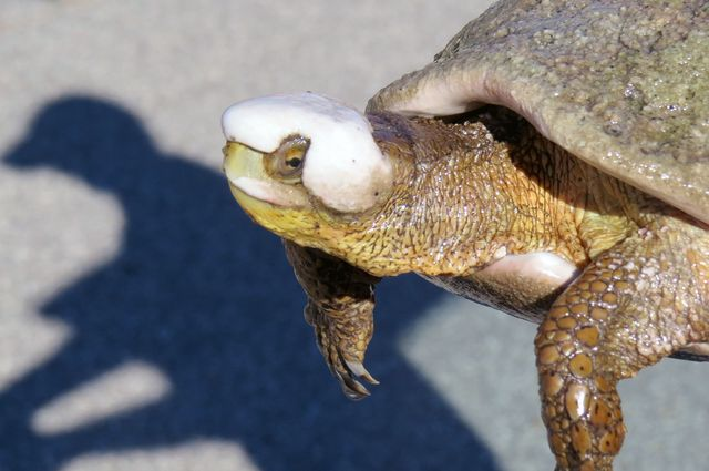 Southwestern Pond Turtle