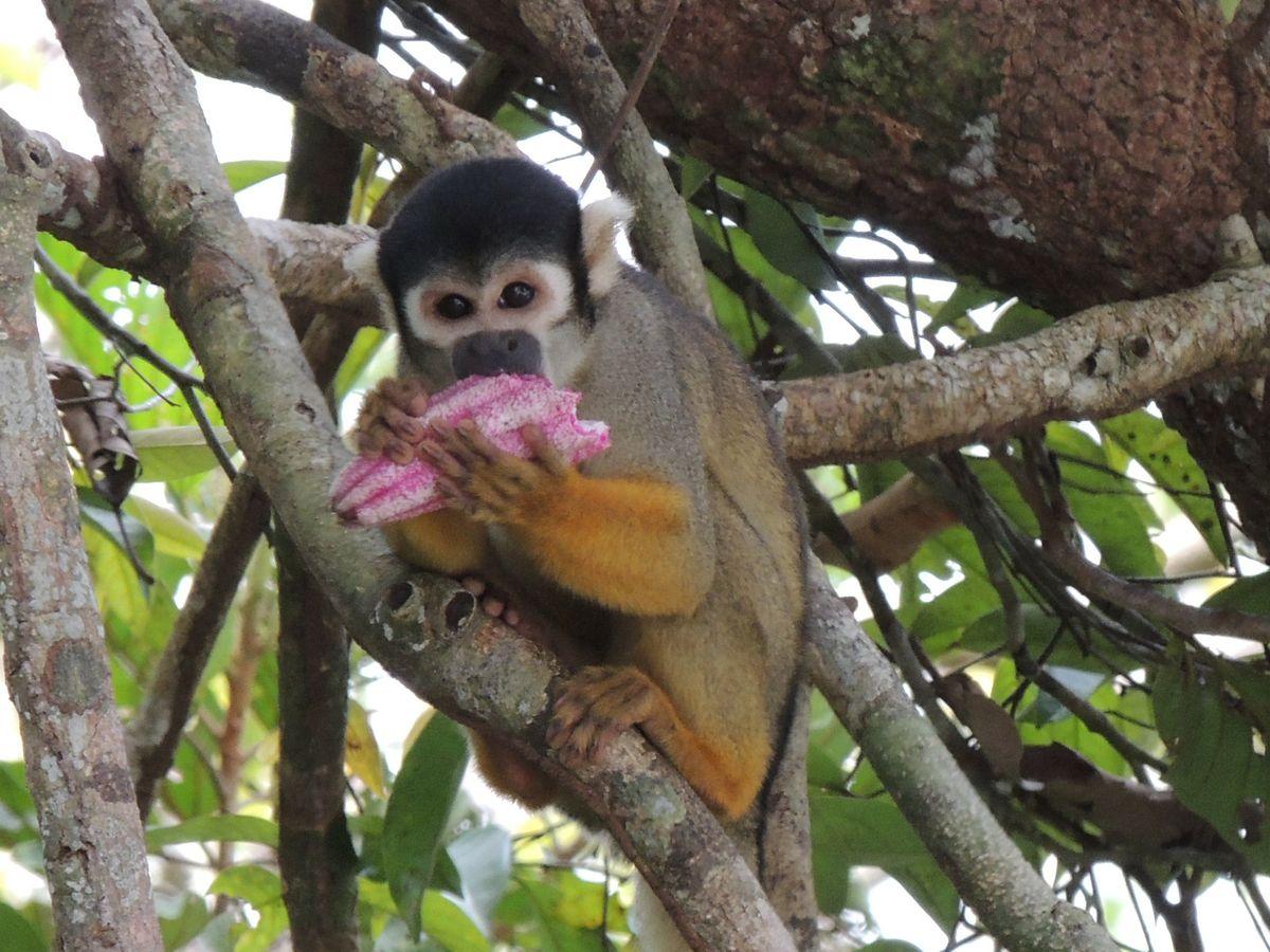 Black-headed squirrel monkey