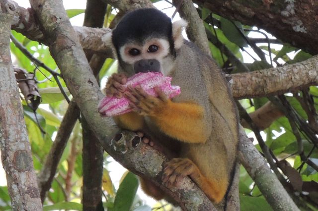 Black-headed squirrel monkey