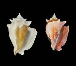 Caribbean fighting conchs