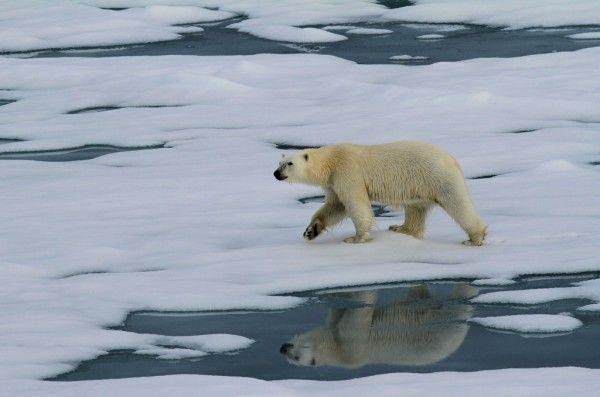 Polar bear on a melting glacier