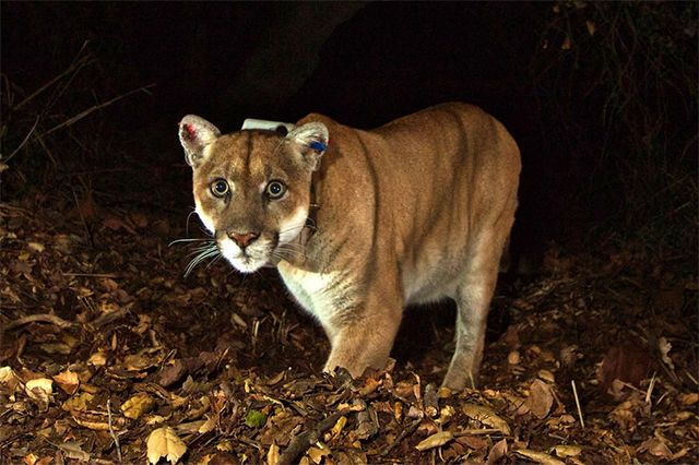 P-22 mountain lion