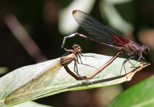 A mating pair of damselflies