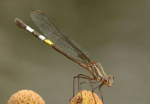 Female rubyspot damselfly