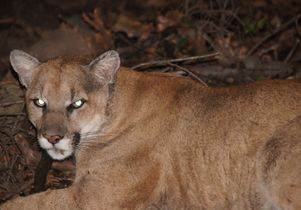 P-22, the Griffith Park mountain lion, in March 2012.