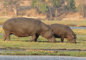 Hippopotamuses in Africa