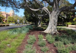 Drought-resistant vegetation planted on a median between Murphy Hall and the UCLA School of Law.