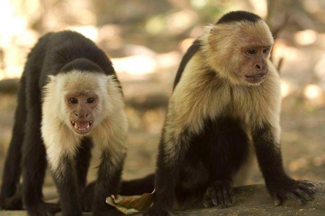 Capuchin monkeys in Costa Rica