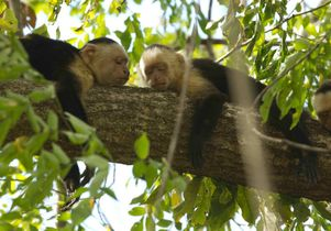Capuchin monkeys in the study