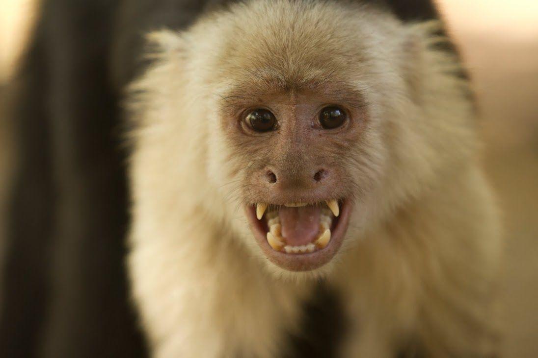 ucla anthropologist knows her capuchin monkeys ucla