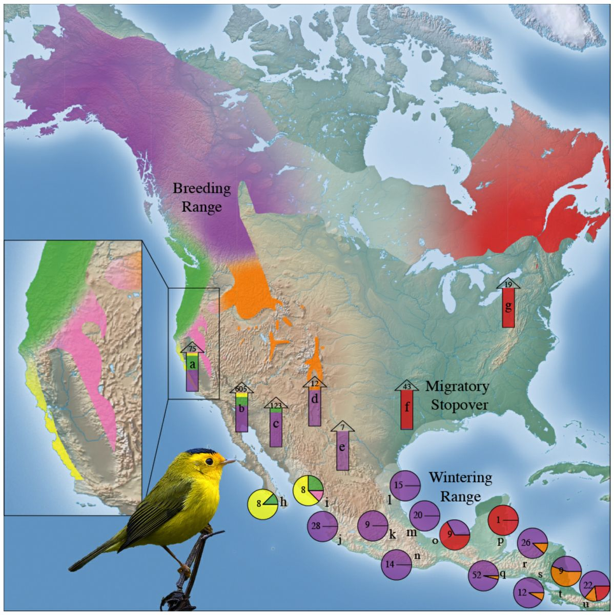 Wilson's warbler sub-groups migration map