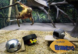Super Bowl orangutan