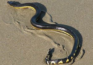 Sea snake on sandy beach
